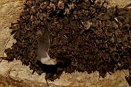 کشف استراتژی شکار دیگری توسط خفاش ها با استفاده از امواج صوتی